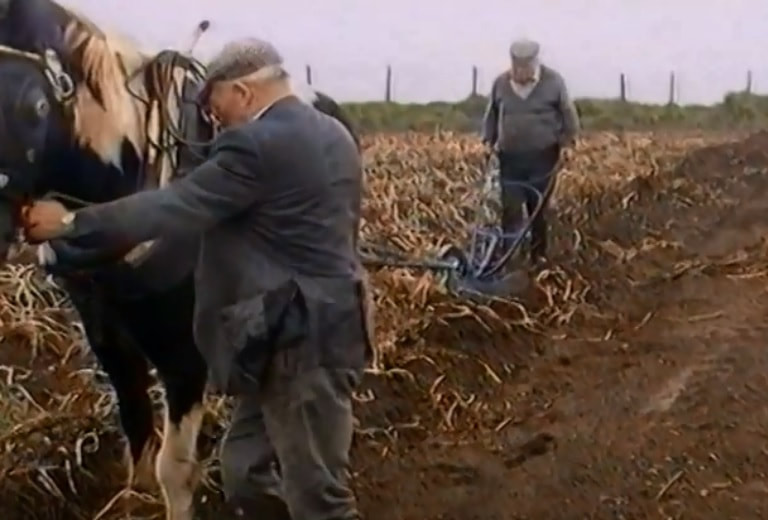 Harvesting potatoes in a field using a horse