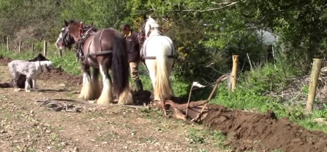 Two horses ploughing a field, one brown and one white horse